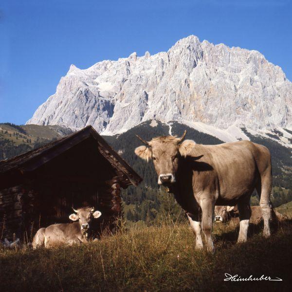 Kühe vor Zugspitze