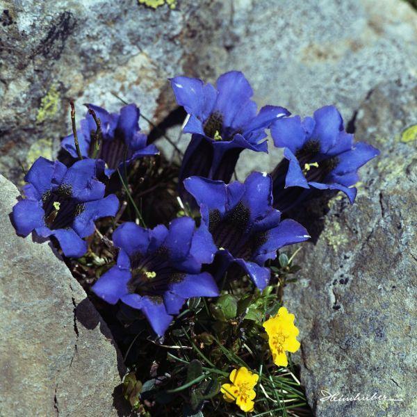 Blauer Enzian II
