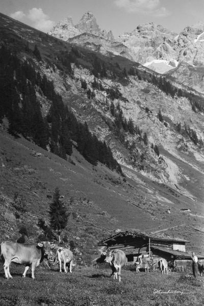 Kühe bei Einödsbach