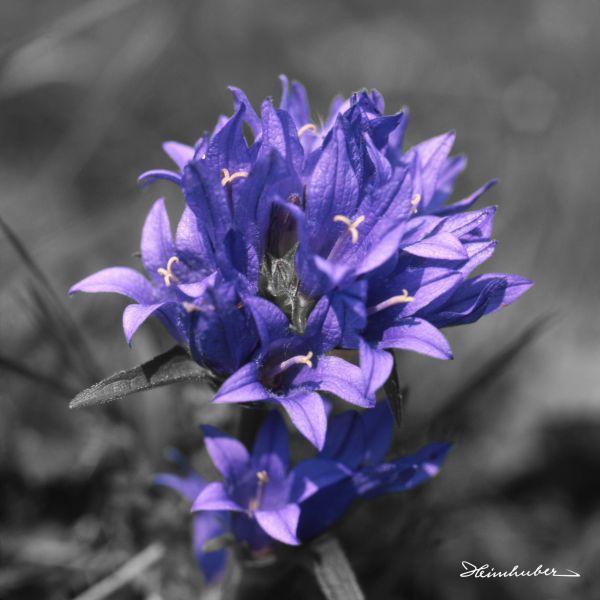 Knäuel Glockenblume teilcoloriert