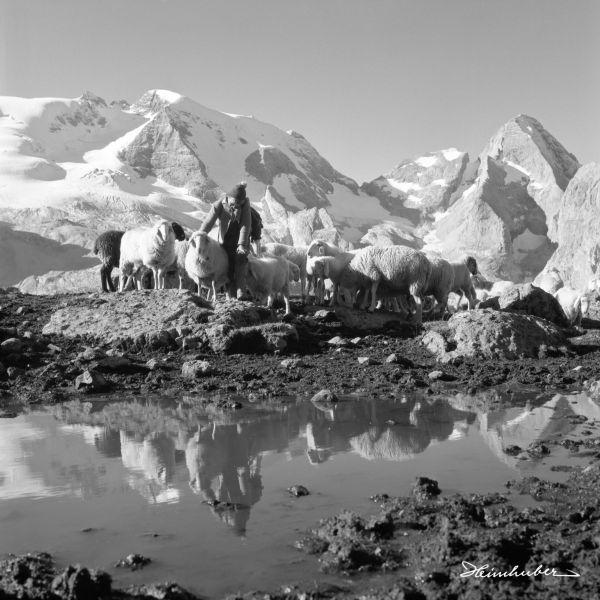 Bergschafe mit Hirtenjungen vor Marmolata I.