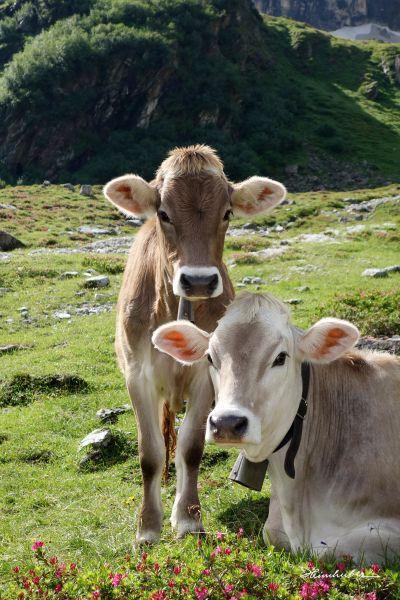 Kühe auf der Bergwiese II