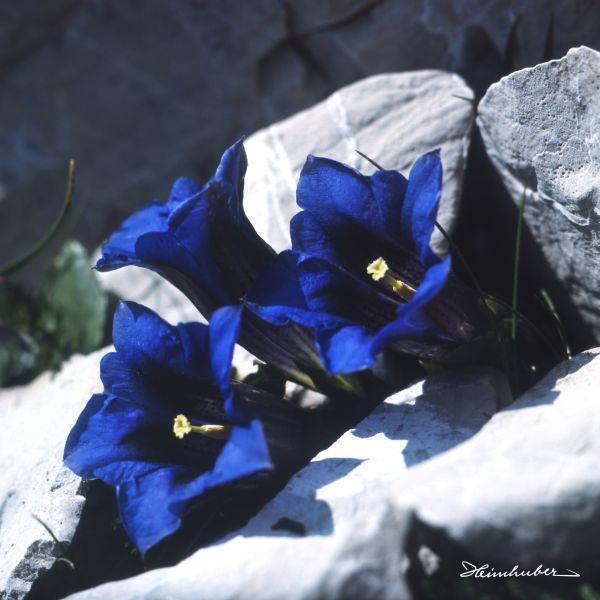 Blauer Enzian III