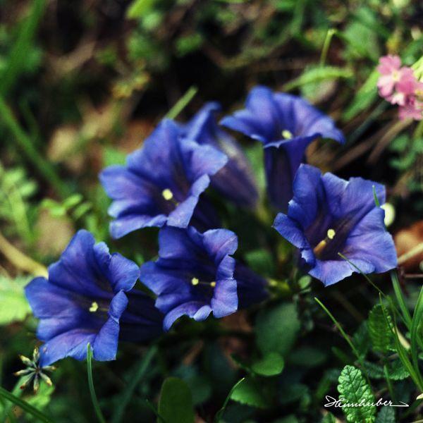 Blauer Enzian I