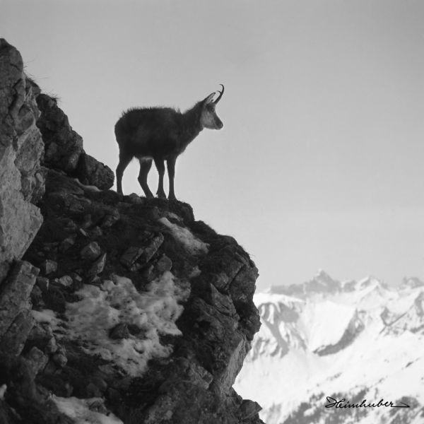 Junge Gemse am Nebelhorn