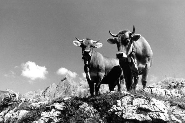 Kühe mit Trettachspitze