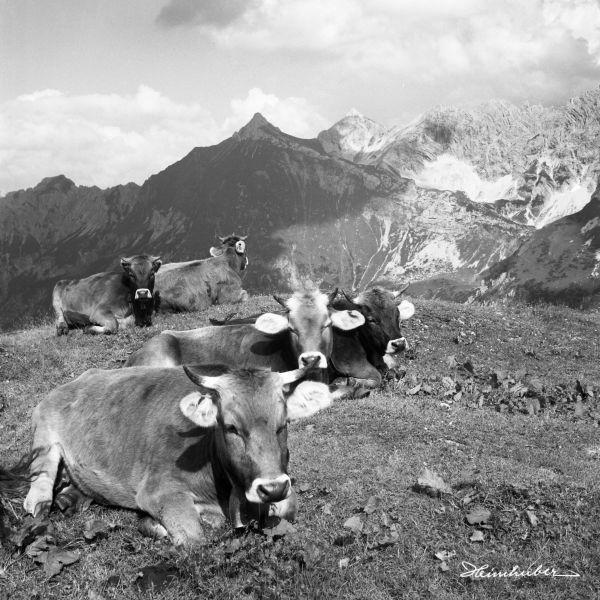 Kühe vor Glasfelderkopf