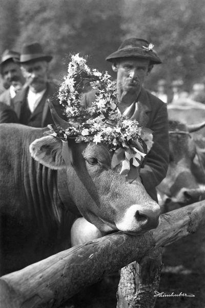 Kranzkuh 1929