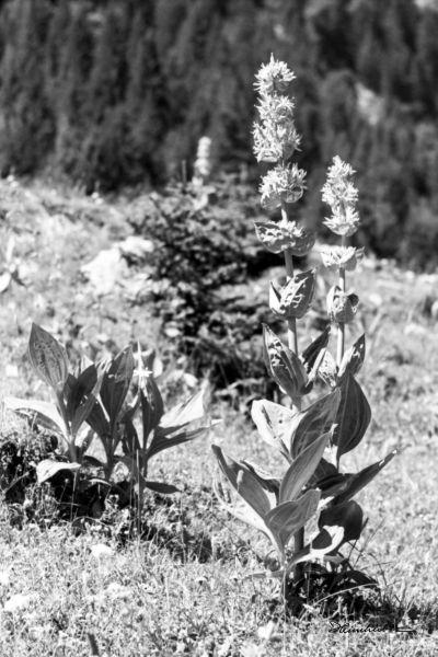 Gelber Enzian als Heilpflanze