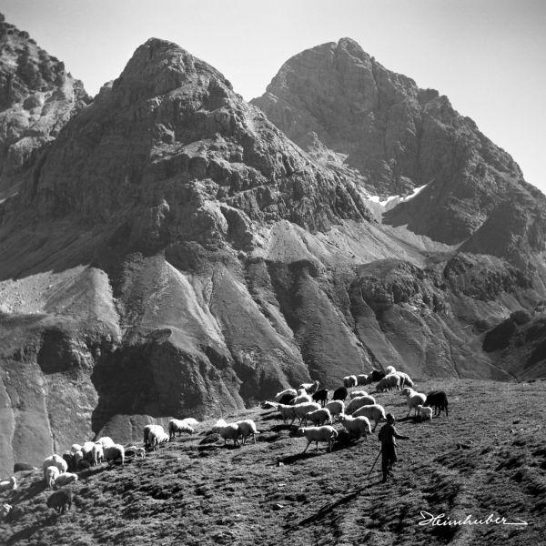Bergschafe mit Hirte