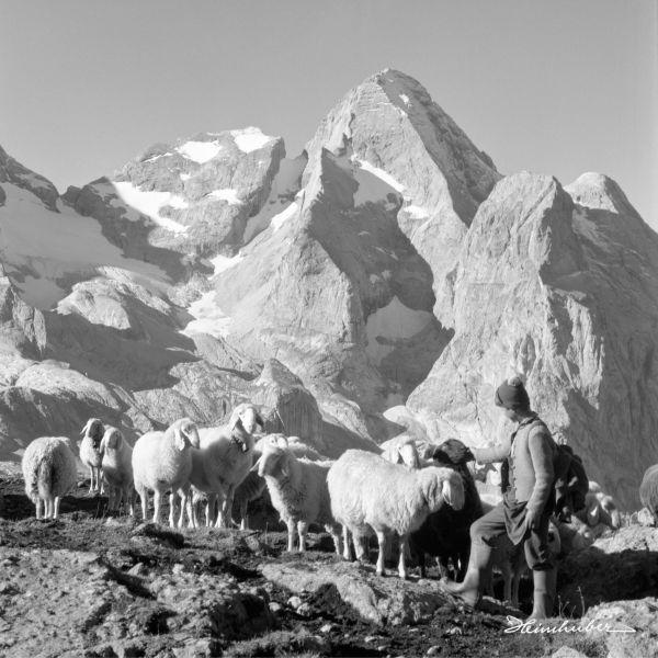Bergschafe vor Marmolata