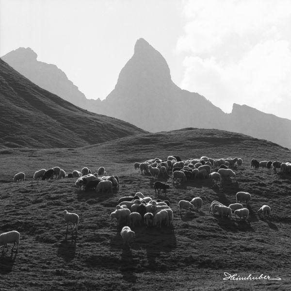 Bergschafe vor Trettach