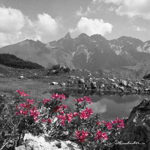 Alpenrosen am Guggersee