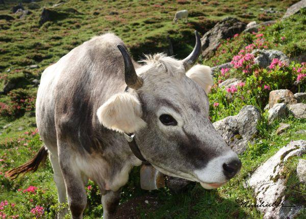 Kuh mit Alpenrosen