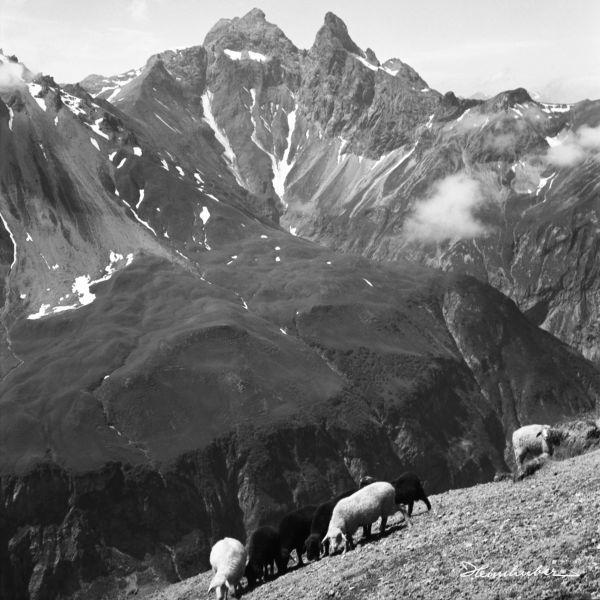 Schafe auf der Almwiese