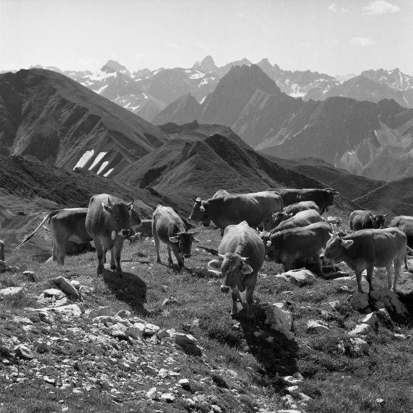Kühe am Nebelhorn
