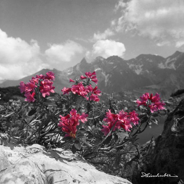 Alpenrosen mit Trettach