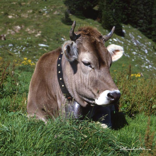 Liegende Kuh auf Almwiese